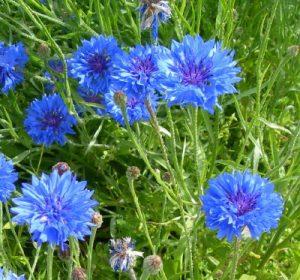 Centaurea Azul ou escovinha
