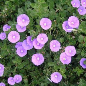 Campainha ou Campainha azul - Flor