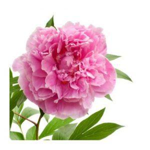 Peonia e o uso mágico das flores